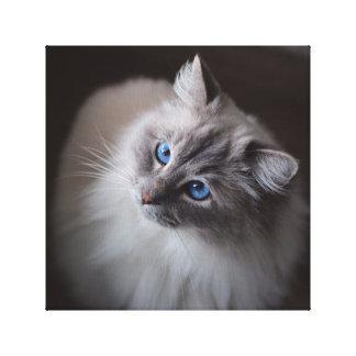 Canvas do gato de Ragdoll - os olhos azuis de