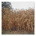 Canvas do milho da queda posteres