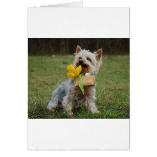 Cão australiano de Terrier de seda Cartão