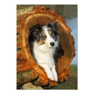 Cão azul de border collie Merle - Paperprint Impressão De Foto