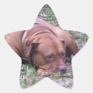 Cão bonito de Bull do Vermelho-Nariz Adesito Estrela