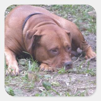 Cão bonito de Bull do Vermelho-Nariz Adesivo Quadrado