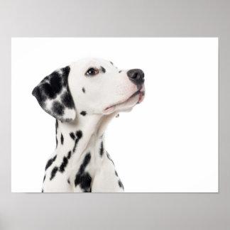 Cão Dalmatian que olha acima o poster