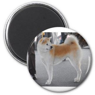 Cão de Akita Inu em uma exposição de cães Imã
