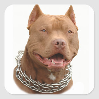 Cão de Pitbull Adesivo Quadrado