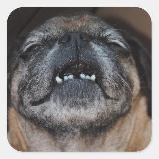 Cão do Pug com etiqueta aberta boca Adesivo Quadrado