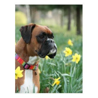 Cão do pugilista nos Daffodils Cartão Postal