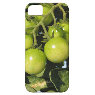 Capa Barely There Para iPhone 5 Tomates verdes que penduram na planta no jardim