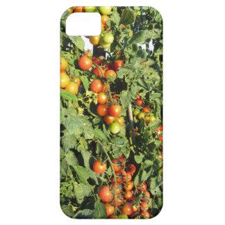 Capa Para iPhone 5 Plantas de tomate que crescem no jardim