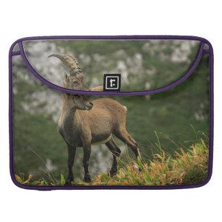 Capa Para MacBook Íbex selvagem alpino, da cabra, ou steinbock