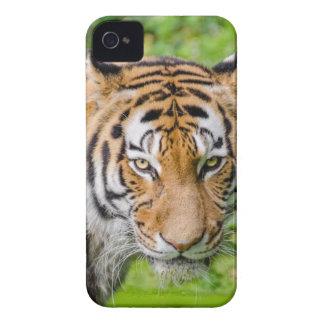 Capinhas iPhone 4 Tigre de Bengal na grama verde