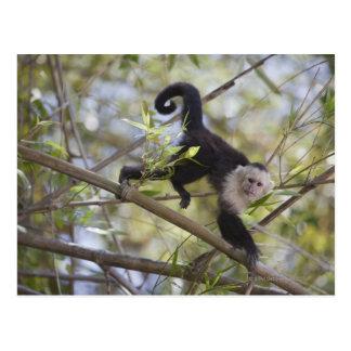 Capuchin Branco-Enfrentado, Guanacaste, Costa Rica Cartão Postal