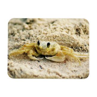 Caranguejo da areia, Curaçau, ilhas das Caraíbas, Foto Com Ímã Retangular