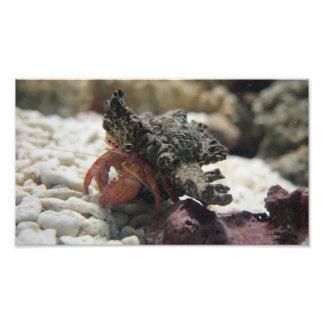 Caranguejo de eremita impressão de foto