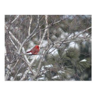 Cardeal do inverno cartão postal