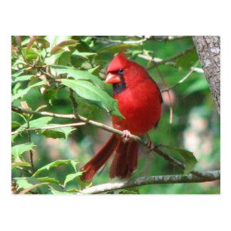 Cardeal no cartão do azevinho