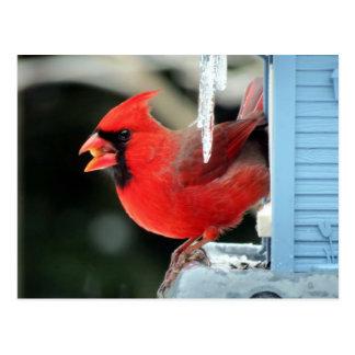 Cardeal no gelo - pássaro cartão postal