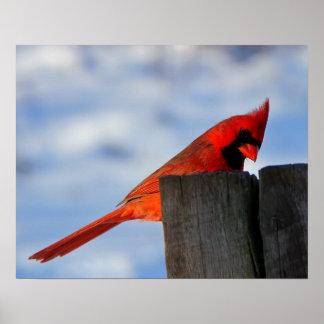 Cardeal vermelho no coto de madeira poster