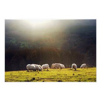 carneiros basque impressão de foto
