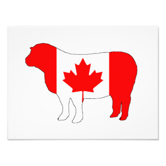 Carneiros Canadá Impressão De Foto