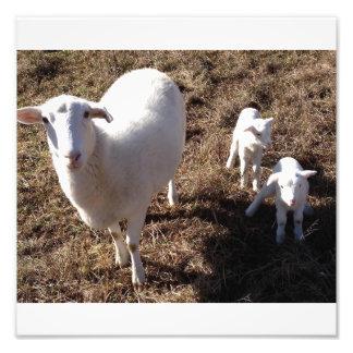 carneiros com cordeiros gêmeos impressão de foto