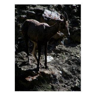 Carneiros de Bighorn da montanha rochosa, ovelha Cartão Postal