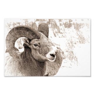 Carneiros de Bighorn Impressão De Foto