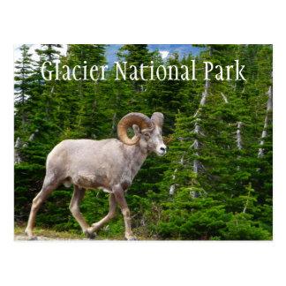 Carneiros de Bighorn, parque nacional de geleira, Cartão Postal