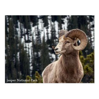 Carneiros de Bighorn - parque nacional de jaspe Cartão Postal