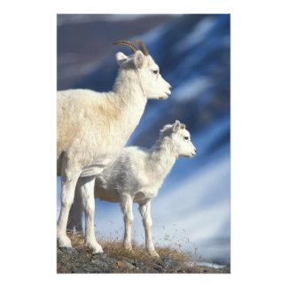 carneiros de dall, dalli do Ovis, ovelha e cordeir Impressão Fotográfica