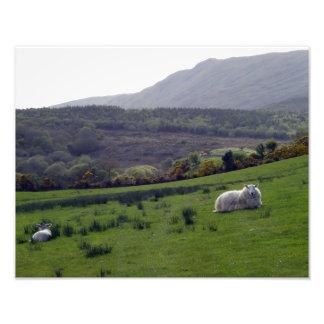 Carneiros de Donegal Impressão Fotográficas