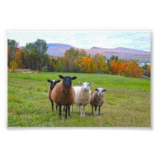 Carneiros de Vermont no outono Impressão De Foto
