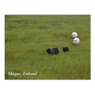 Carneiros islandêses cartão postal