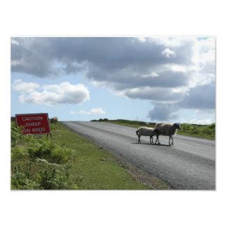 Carneiros na estrada impressão de foto