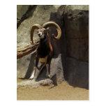 Carneiros selvagens de Mouflon que riscam 1 Cartões Postais