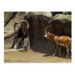 Carneiros selvagens de Mouflon que riscam 1 Cartão Postal