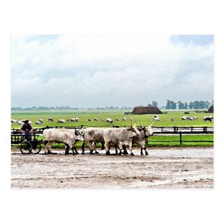 Carro tirado pelo gado cinzento húngaro cartões postais