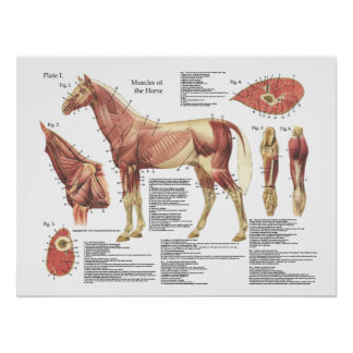 Carta da anatomia do ombro do pescoço do músculo pôster