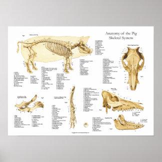 Carta esqueletal Porcine do poster da anatomia do