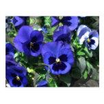 Cartão 2013 azul dos Pansies Cartao Postal