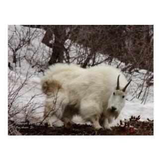 Cartão #2 da cabra de montanha rochosa