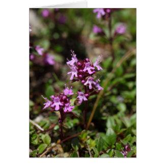 Cartão A mãe de tomilho floresce (o praecox do Thymus)
