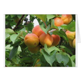 Cartão Abricós maduros que penduram na árvore. Toscânia,