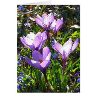 Cartão Açafrões violetas 02,0, cumprimentos do primavera