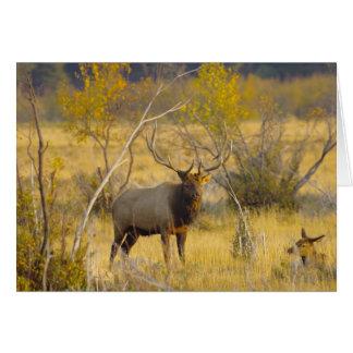 Cartão Alces em Colorado