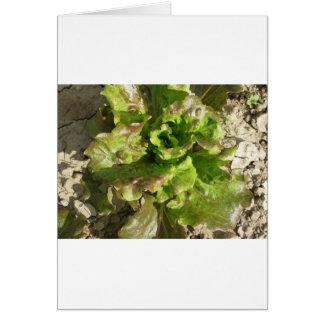 Cartão Alface fresca que cresce no campo. Toscânia,