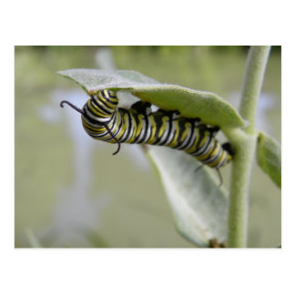 Cartão amarelo da lagarta da borboleta da cauda da
