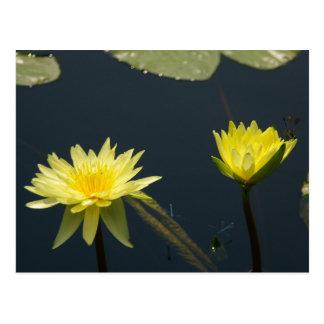 Cartão amarelo de Lotus Waterlilies