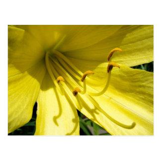 Cartão amarelo do hemerocallis