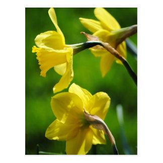 Cartão amarelo dos Daffodils Cartão Postal